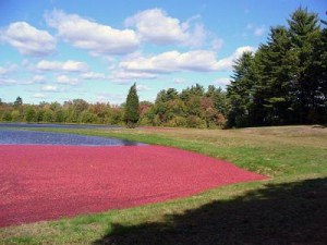 Production de la canneberge Cranberry antioxydante